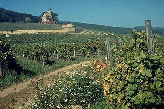 Weingärten um Bad Vöslau