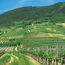 Weingärten bei Gumpoldskirchen, Wienerwald