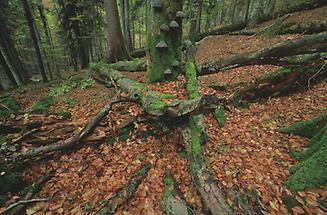 Urwald bei Lunz am See, Dürrenstein-Gebiet