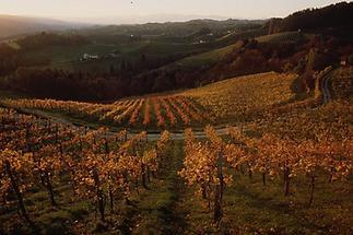 Weinlandschaft im Sausal