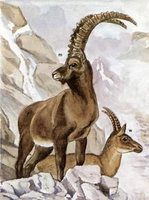 Alpensteinbock
