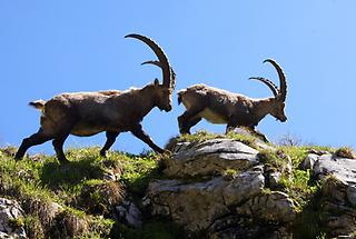 Alpensteinbock1