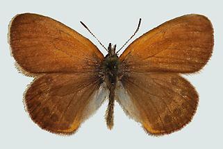 Alpen-Heufalter (Coenonympha gardetta)
