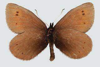 Erebia epiphron aetherius, Unterseite