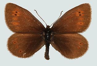 Erebia epiphron aetherius