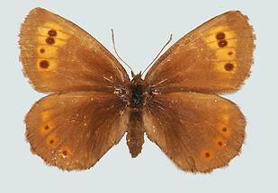 Erebia euryale Weibchen, Oberseite
