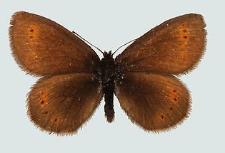 Gelbbinden-Mohrenfalter (Erebia flavofasciata)