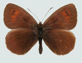 Karawanken-Mohrenfalter (Erebia calcaria)