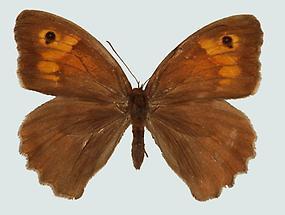 Ochsenauge (Maniola jurtina), Weibchen