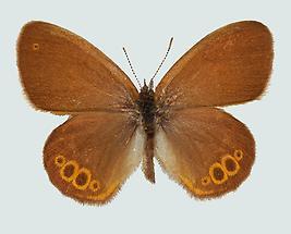 Wald-Wiesenvögelchen (Coenonympha hero)