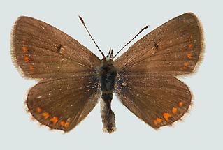 Aricia artaxerxes allous Oberseite