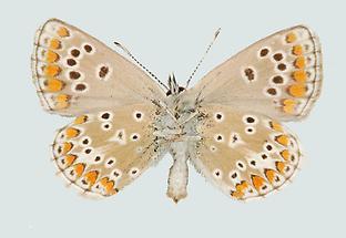 Aricia artaxerxes allous Unterseite