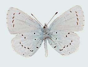Faulbaumbläuling Männchen