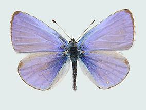 Faulbaumbläuling Männchen Oberseite