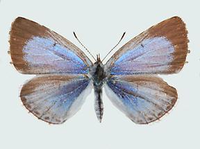 Faulbaumbläuling Weibchen