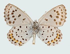 Graublauer Bläuling Pseudophilotes baton