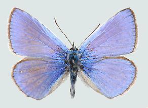 Hauhechelbläuling Männchen