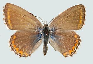 Himmelblauer Bläuling Weibchen