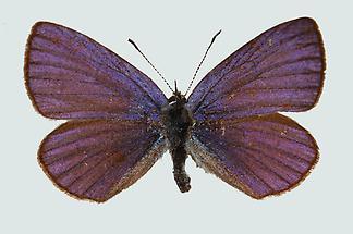 Kleiner Alpenbläuling Männchen Oberseite