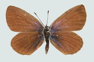 Kleiner Alpenbläuling Weibchen