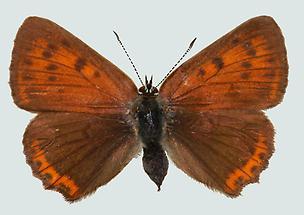 Kleiner Ampferfeuerfalter Weibchen Oberseite