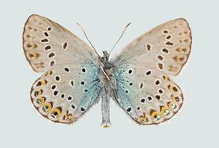 Lycaeides idas Männchen
