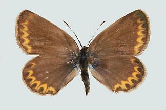 Lycaeides idas Weibchen