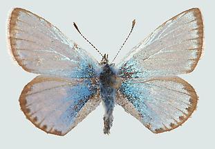 Polyommatus eros Männchen