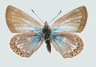Polyommatus eros Oberseite