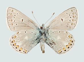 Polyommatus eros Unterseite