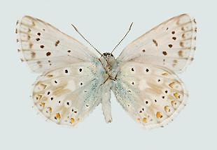 Silbergrüner Bläuling Männchen
