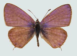 Syntarucus pirithous Oberseite