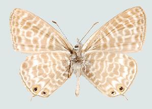 Syntarucus pirithous Unterseite