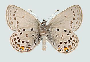 Violetter Silberfleckbläuling Männchen