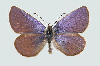Violetter Silberfleckbläuling Oberseite