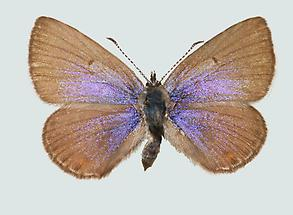 Violetter Silberfleckbläuling Weibchen