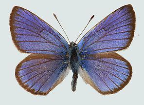 Violetter Waldbläuling Oberseite