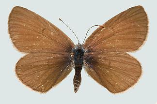 Violetter Waldbläuling Weibchen