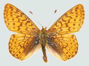 Hochalpen-Perlmutterfalter (Boloria pales)