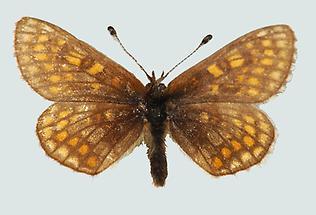 Kleiner Scheckenfalter (Mellicta asteria)