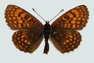 Wachtelweizen-Scheckenfalter (Mellicta athalia)