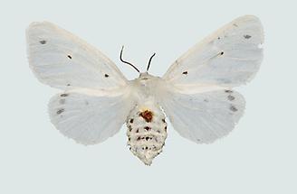 Fleckleibbär Weibchen