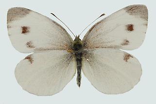 Karstweißling Weibchen