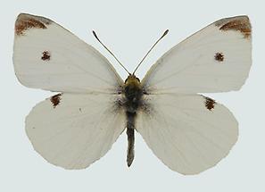 Kleiner Kohlweißling Weibchen