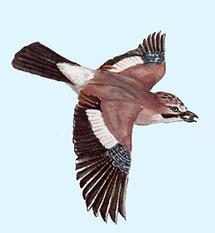 Eichelhäher Flug