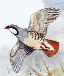 Steinhuhn Flug