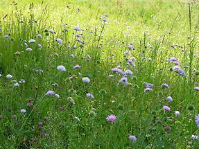 Acker-Witwenblume, Wiese