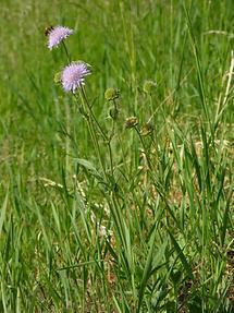 Acker-Witwenblume (1)