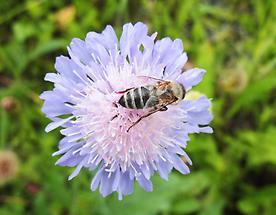 Acker-Witwenblume mit Biene