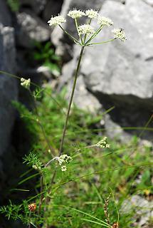 Alpen-Augenwurz (1)